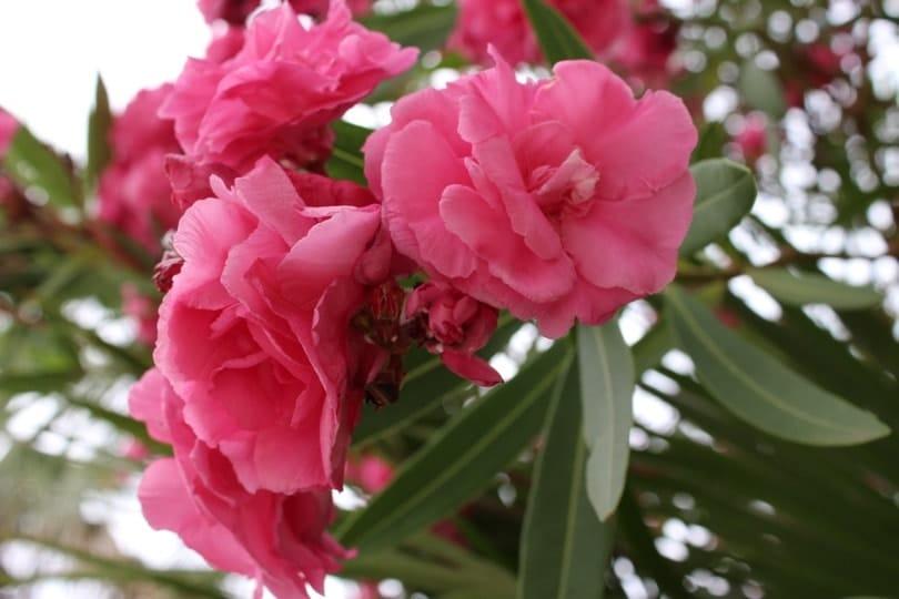 fleurs de lauriers roses charnues