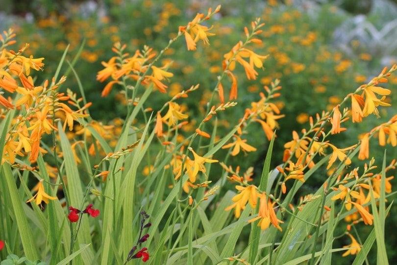 des fleurs à Giverny