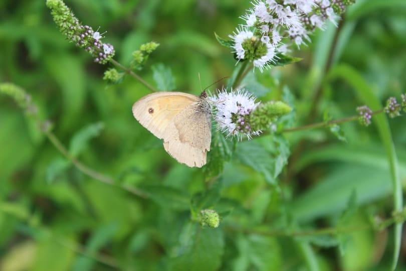 papillon et menthe la roche guyon