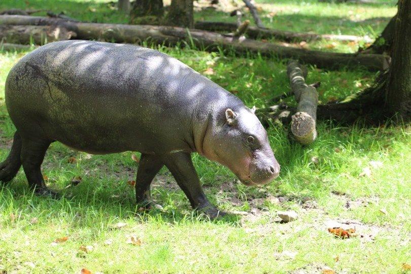hippopotame pygmé