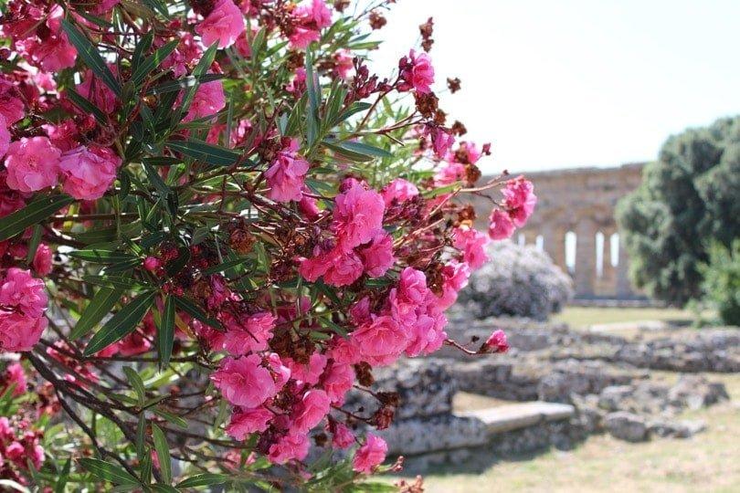 laurier et temple de Neptune Paestum