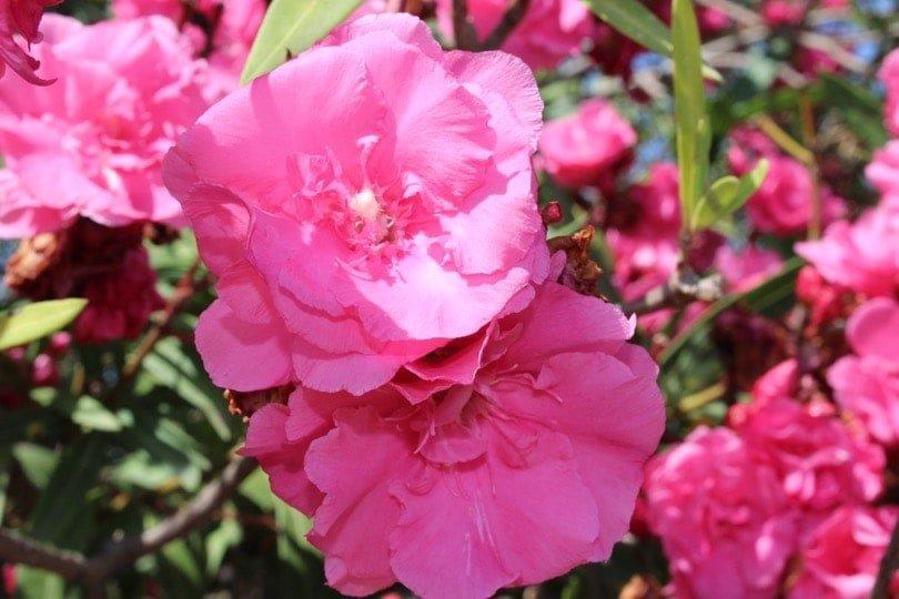 laurier rose paestum
