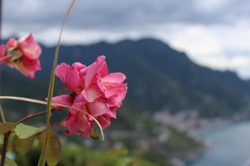 rose avec paysage villa Rufolo