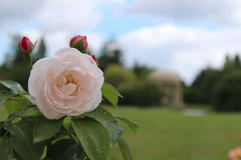 rose et temple de l'amour au domaine de Marie-Antoinette