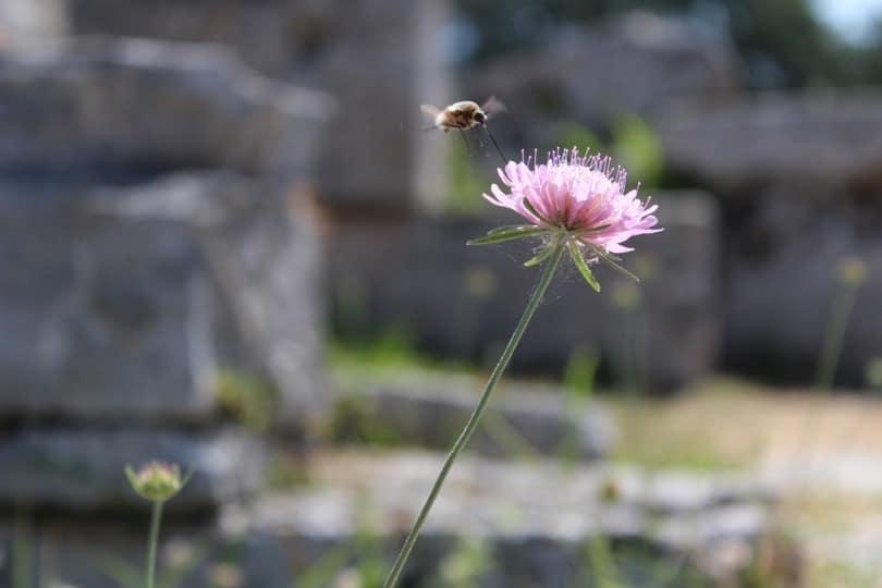 scabieuse et insecte à Paestum