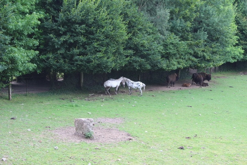 chevaux et bisons