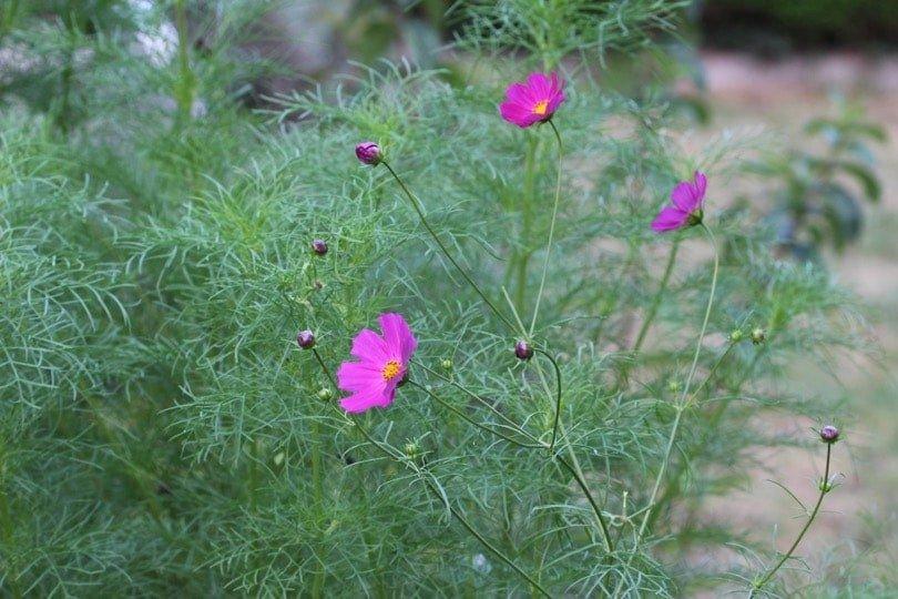 Les cosmos fleurs romantiques au jardin