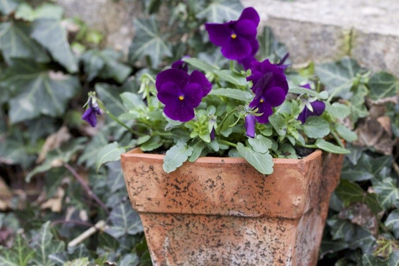 Viola mauve