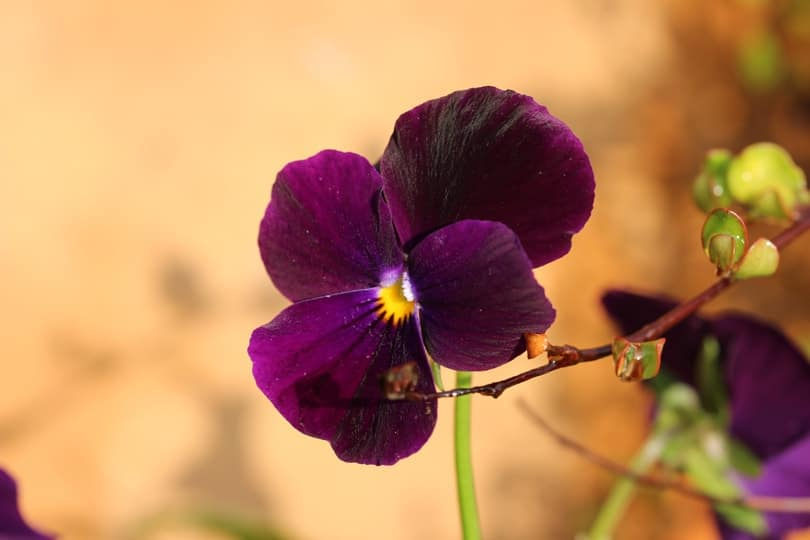 Viola sous le soleil d'octobre