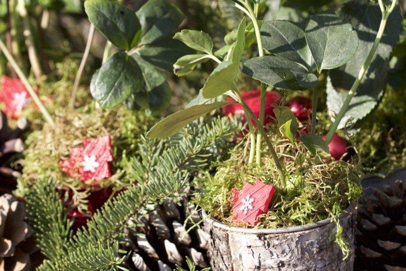 Des roses de Noël, une décoration naturelle.