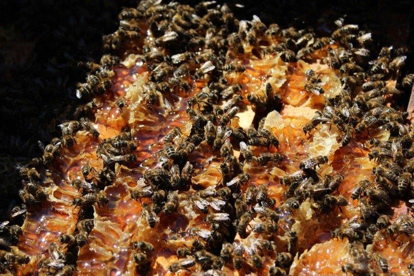 Abeilles au coeur de la ruche