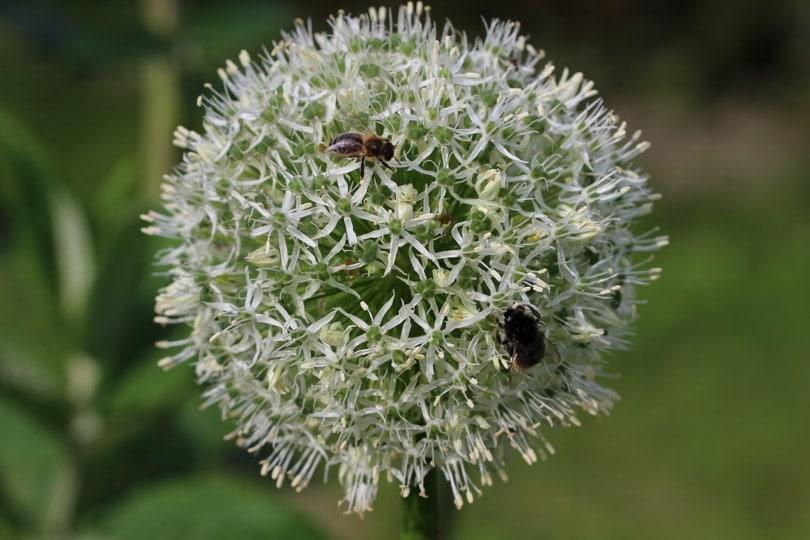 Bonrdon et abeille sur un allium