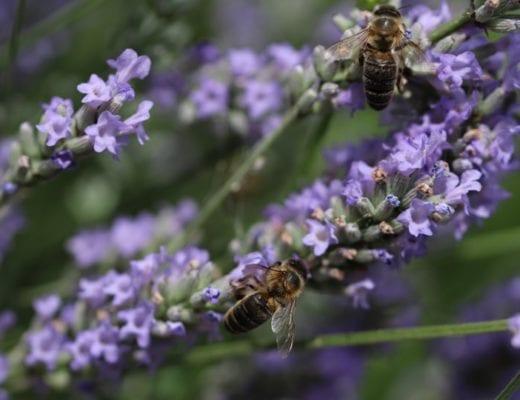 Deux abeilles sur la lavande