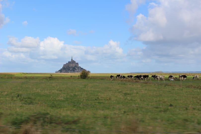 Vaches dans la baie du Mont Saint-Michel