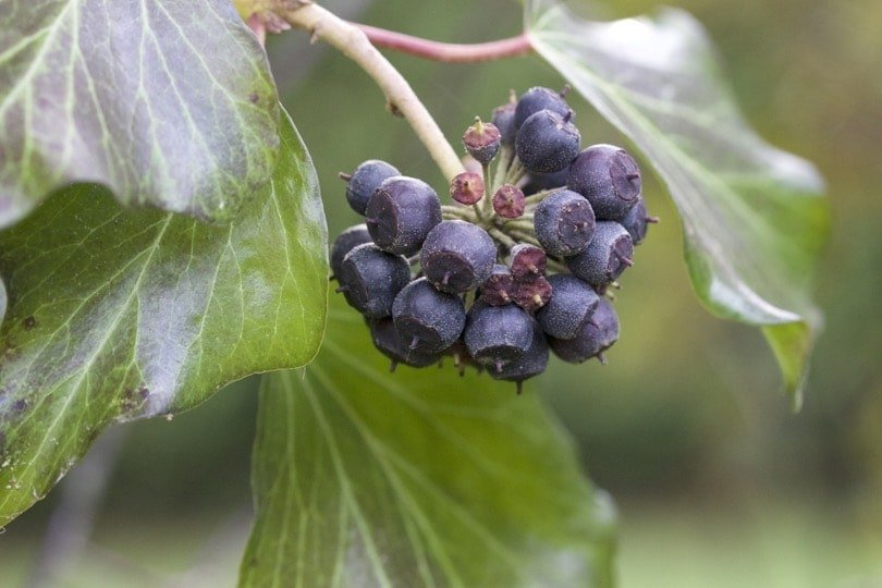 Fruits du lierre grimpant