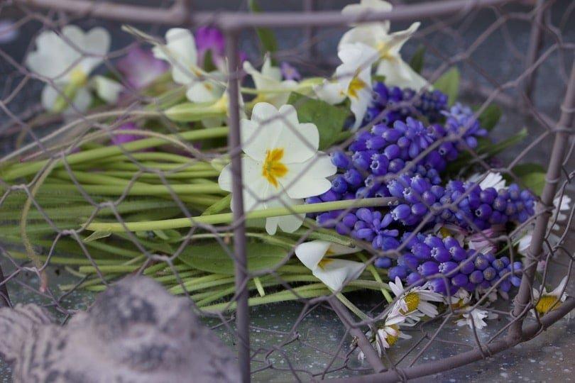 Muscaris pour bouquet