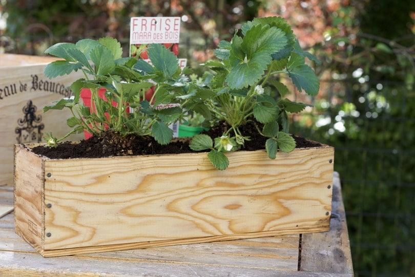 Plantation de fraisiers dans une caisse à vin