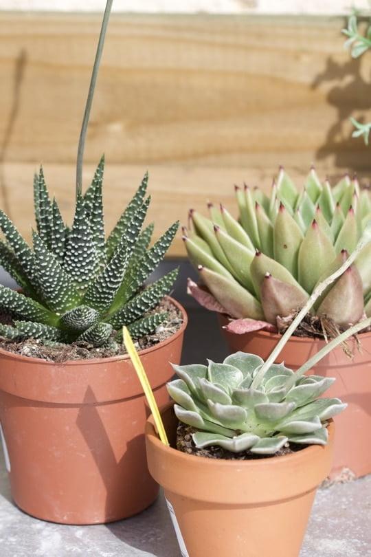 Mes choix de plantes succulentes pour mon terrarium