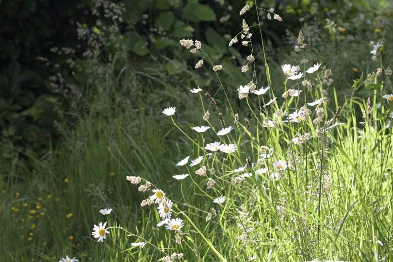 Fleurs des champs dans les environs de Coutances