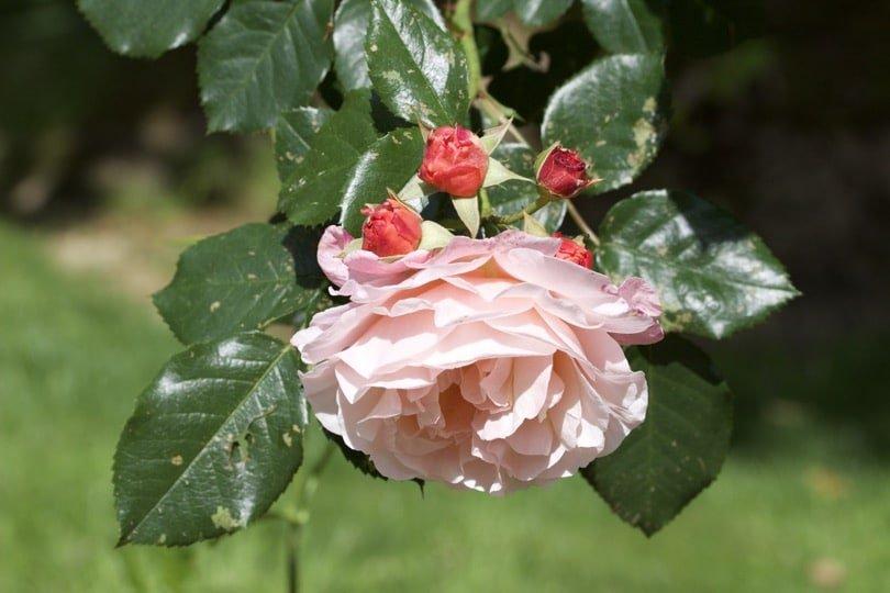 Rosiers roses du jardin des plantes de Coutances