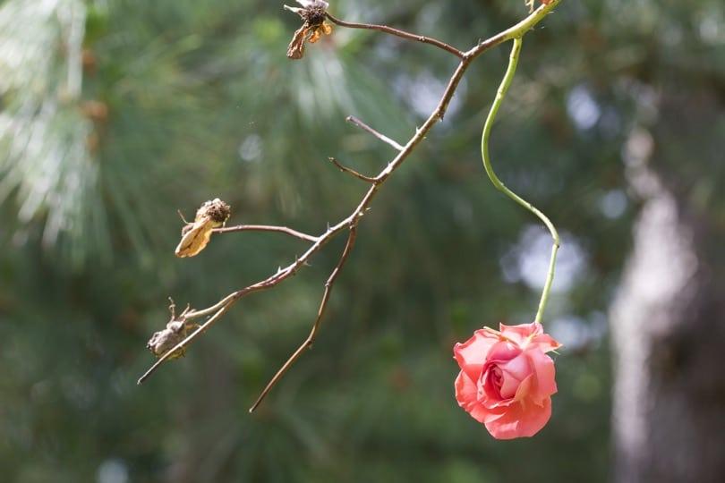 fin de floraison d'un rosier du jardin des plantes de Coutances