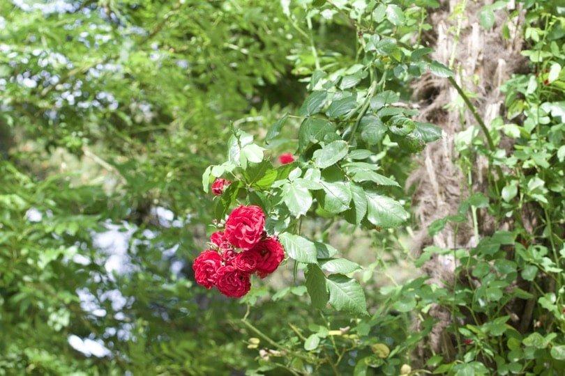 Rosiers du jardin des plantes de Coutances