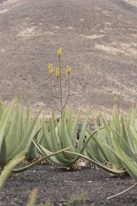 Plantation d'Aloe vera à Lanzarote