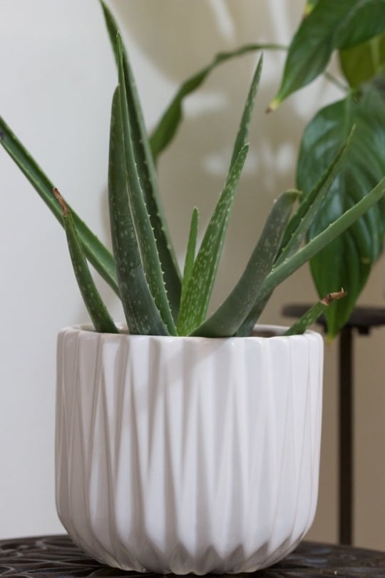 Aloé vera, une plante dépolluante