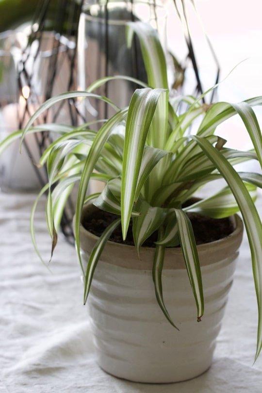 Le Chlorophytum, une plante dépolluante.