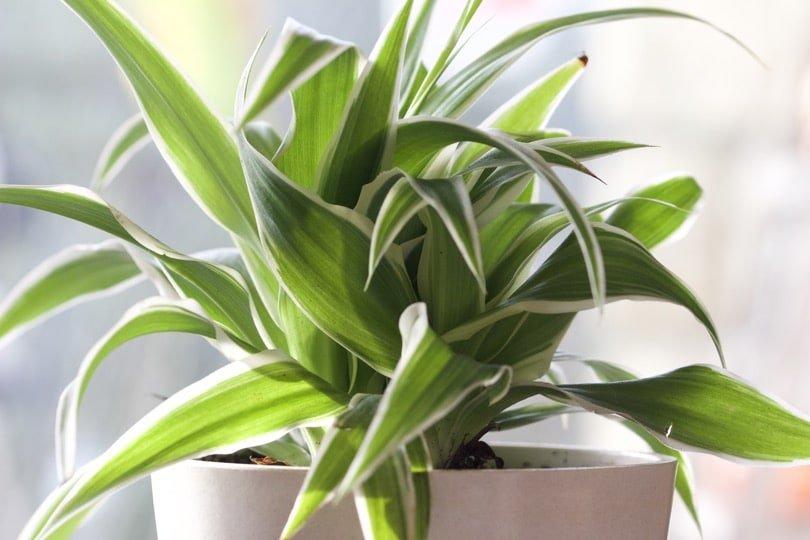 Le Chlorophytum une des plantes dépolluantes des plus efficaces.