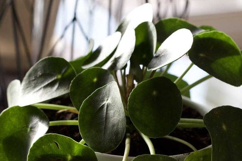 Le Pilea fait parti des plantes dépolluantes.