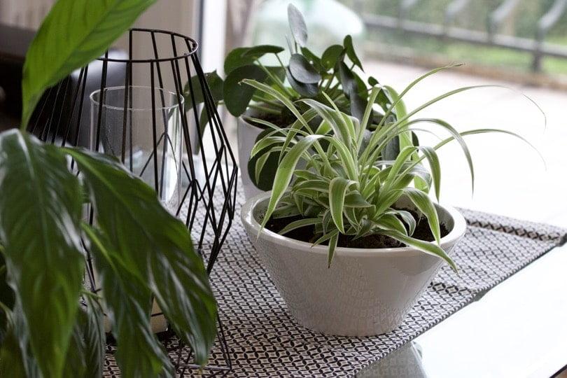 Spathiphyllum et chlorophytum, un duo de plantes dépolluantes.