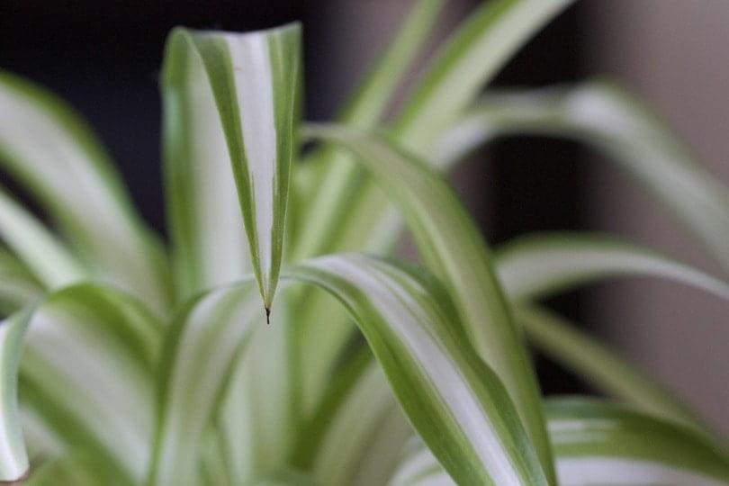 Chlorophytum une des plantes dépolluantes les plus efficaces.