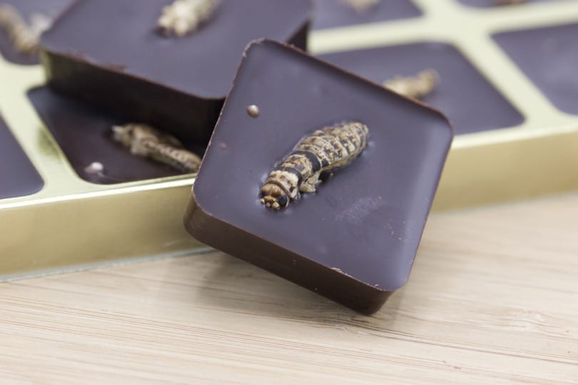 Grillons pralinés - entomophagie version sucrée