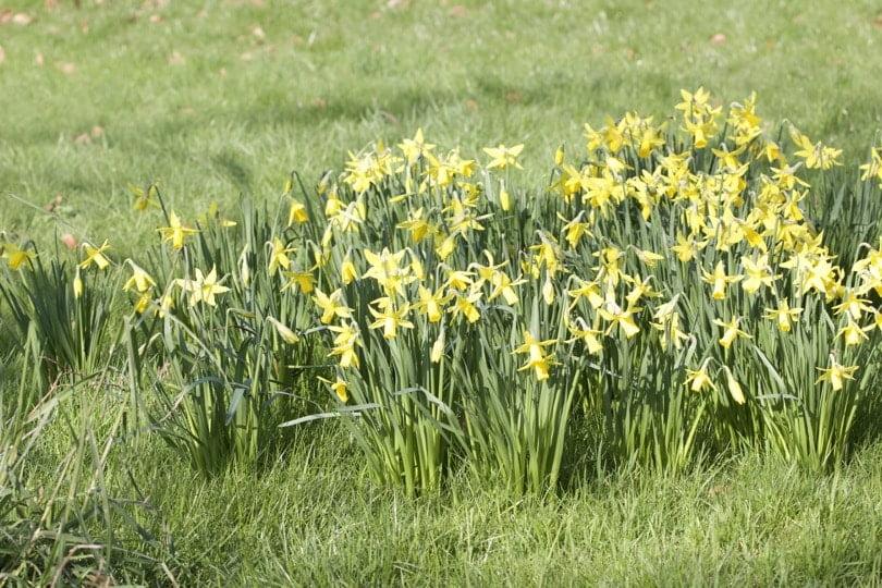 Narcisses jonquilles au parc Monceau