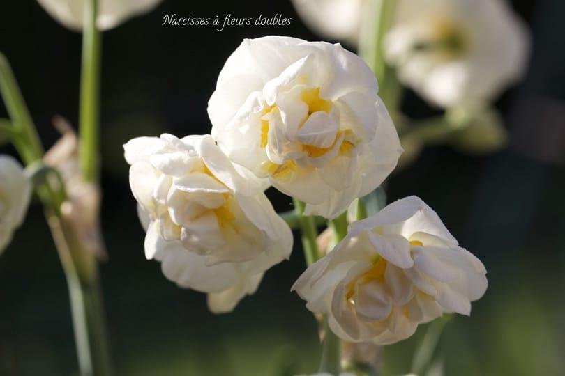 Narcisses à fleurs doubles