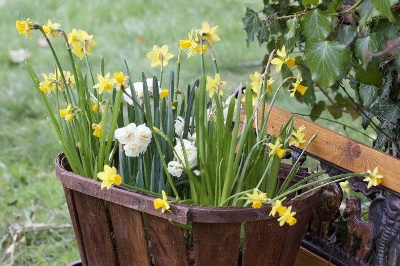 Décorer le jardin avec des narcisses