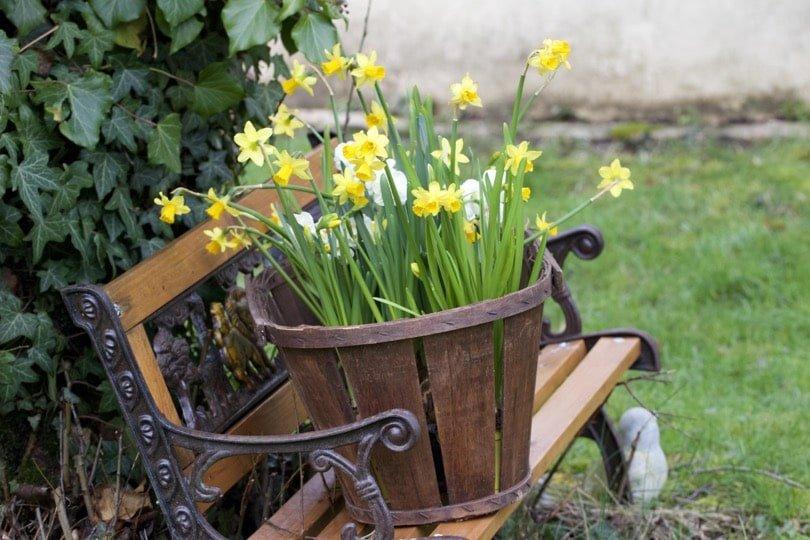 Décorer son jardin avec des narcisses