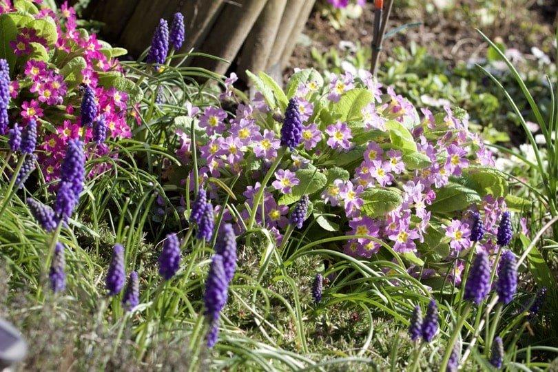 Primevères des jardins et muscaris
