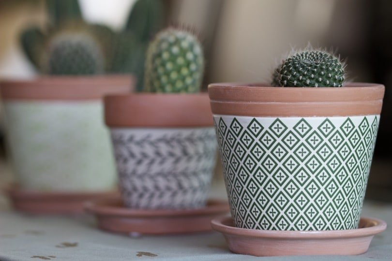 Cactus d'intérieur miniatures.