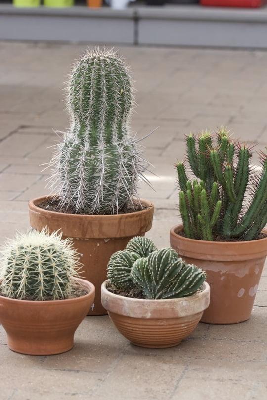 Mes cactus d'intérieur préférés du moment.