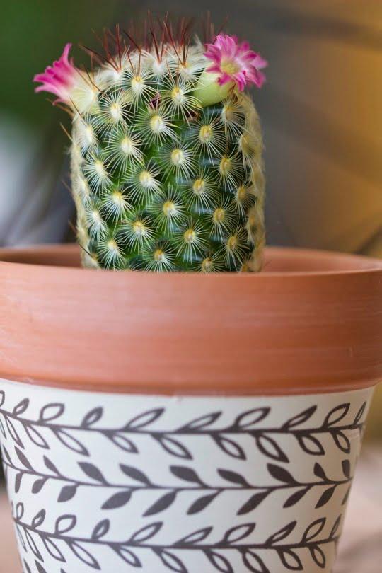 Mon mini cactus d'intérieur fleuri.