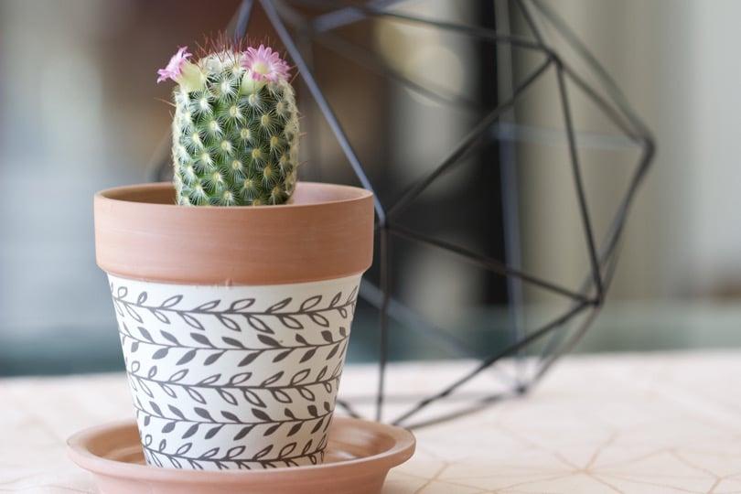 Cactus d'intérieur, Mammillaria en fleur sur la table du salon
