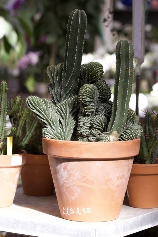Cactus d'intérieur, le Marginatus magnifique.