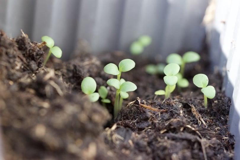 Premiers semis dans ma jardinière / mini-serre calipso.