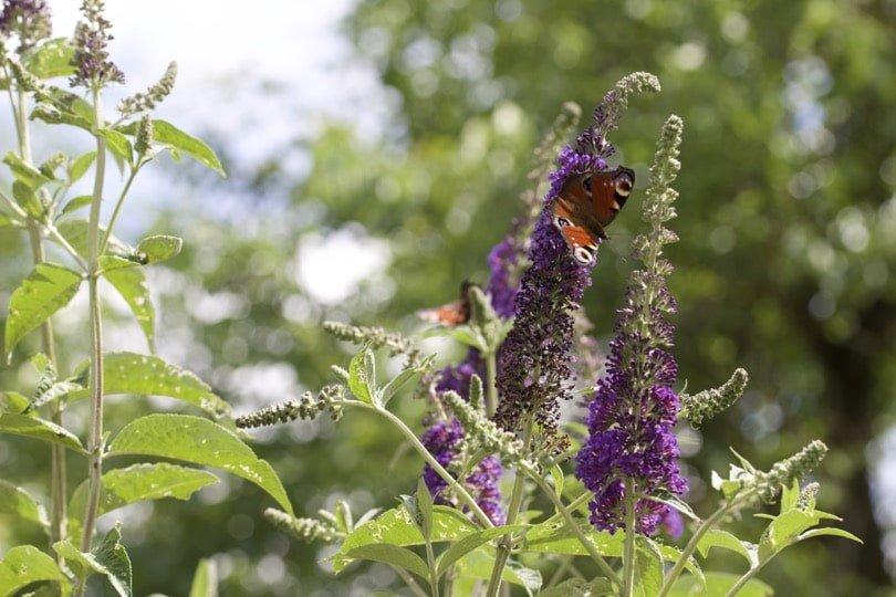 Buddleia dans mon jardin pour l'été