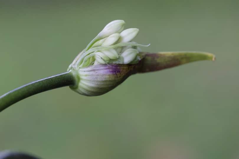 Agapanthe twister Globe Planter en floraison.