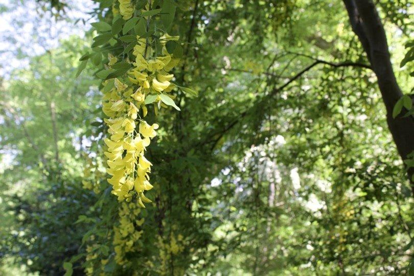 Acacia jaune du domaine de Chateaubriand.