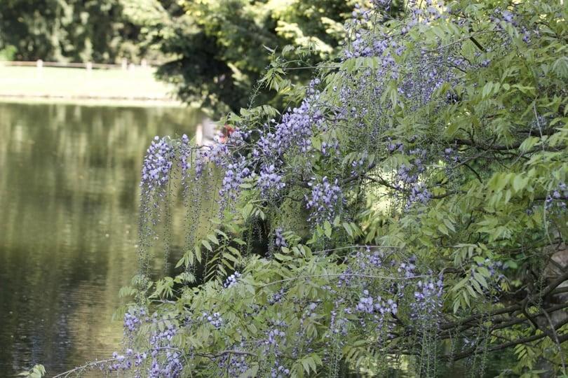 Glycine de l'arboretum de la Vallée-aux-Loups.