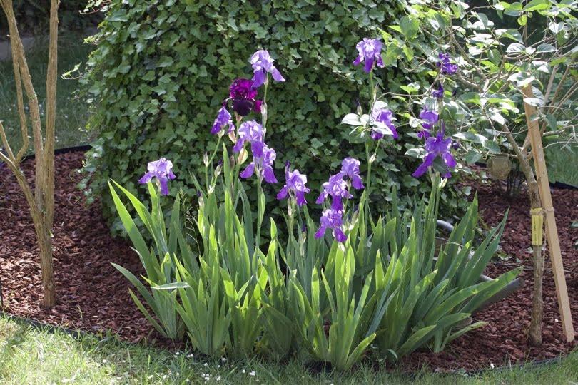 Mon coin aux iris